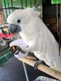Parasolowy kakadu zwierzę domowe Fotografia Stock