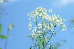 Parasolowy kwiatostan biali kwiaty przeciw niebieskiemu niebu zdjęcia stock