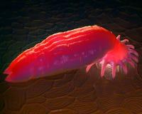 Parassita acquatico di Gyrodactylus sulla pelle di un salmone fotografie stock
