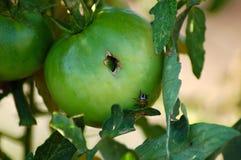Parassita del pomodoro Fotografia Stock