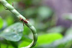 Parassita della zanzara sul primo piano del fagiolo dall'occhio Immagine Stock