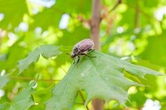 Parassita europeo dello scarabeo - melolontha del verme bianco anche conosciuto Immagine Stock