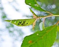 Parassiti del foglio (Aphidina). Immagini Stock