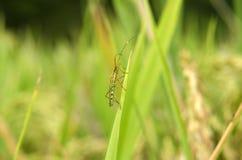 Parassiti del riso Fotografie Stock Libere da Diritti