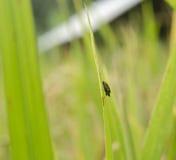 Parassiti del riso Fotografia Stock