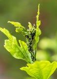 Parassiti, malattie delle piante Primo piano dell'afide su una pianta Immagini Stock Libere da Diritti