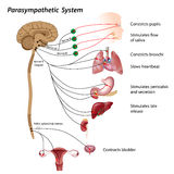 Parasympathetic system. Parasympathetic pathways of the autonomic nervous system, eps10 Royalty Free Stock Images