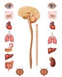 Parasympathetic system. Parasympathetic nervous system, part of the autonomic or vegetative Royalty Free Stock Photos