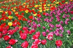 Parata dei tulipani nel giardino botanico Fotografia Stock