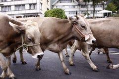 Parata della mucca Fotografia Stock