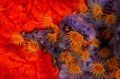 Parazoanthus axinellae Royalty Free Stock Image