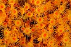 Parazoanthus axinellae - Anemone Royalty Free Stock Images