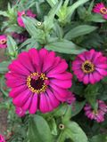 Parbati blomma Royaltyfria Bilder