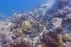 Parbladig batfish (den Platax pinnatusen) Arkivbilder