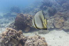 Parbladig batfish (den Platax pinnatusen) Royaltyfri Bild