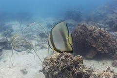 Parbladig batfish (den Platax pinnatusen) Arkivfoto