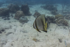 Parbladig batfish (den Platax pinnatusen) Royaltyfri Foto