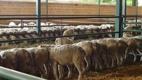 Parc à moutons contemporain clips vidéos