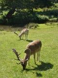 Parc Angleterre - cerf commun de Bradgate Photo libre de droits
