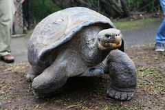 Parc australien de reptile de tortue de Galapagos @ Photos stock