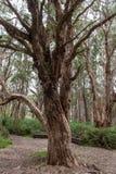 Parc centennal à Sydney, Australie Vieil arbre Photos libres de droits
