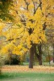 Parc d'automne Arbre d'érable s'élevant dans l'herbe verte Photo libre de droits