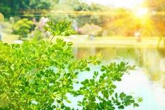 Parc de feuilles et de rayons de soleil de vert au printemps Photo stock