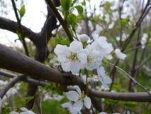 Parc de floraison blanc d'arbre de fleur au printemps photo libre de droits