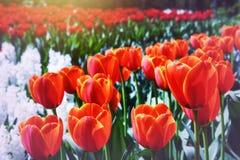 Parc de ressort avec les tulipes rouges de floraison Image libre de droits