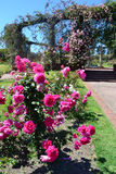 Parc de roses Images stock