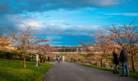 Parc de Sakura à Vilnius Photos stock
