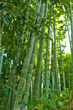 Parc en bambou de verger Image stock