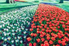 Parc néerlandais avec les tulipes jaunes et bleues blanches rouges de floraison images libres de droits