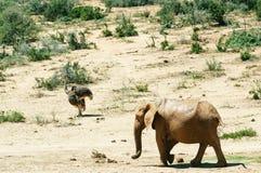 Parc national d'éléphant d'Addo, le Cap-Oriental, Afrique du Sud Images libres de droits