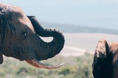 Parc national d'éléphant d'Addo, le Cap-Oriental, Afrique du Sud Photos libres de droits