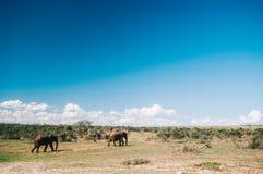 Parc national d'éléphant d'Addo, le Cap-Oriental, Afrique du Sud Photographie stock