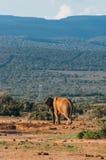 Parc national d'éléphant d'Addo, le Cap-Oriental, Afrique du Sud Photo libre de droits