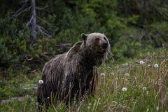Parc national de Banff d'ours de Griizzly Images stock
