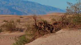 Parc national de Death Valley - les dunes de sable de mesquite banque de vidéos