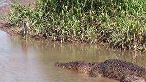 Parc national de Kakadu de rivière d'alligator d'Australie, cigogne étranglée noire, asiaticus d'ephippiorhynchus, alligator, IBI clips vidéos
