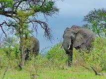 Parc national de Kruger, Afrique du Sud, le 11 novembre 2011 : Éléphants sur des prairies de la savane Images stock