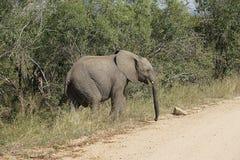 Parc national de Kruger d'éléphant africain images stock