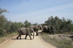 Parc national de Kruger d'éléphant africain Photo libre de droits