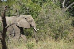 Parc national de Kruger d'éléphant africain Photos libres de droits