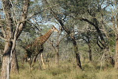 Parc national de Kruger de girafe africaine images libres de droits