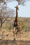 Parc national de kruger de Girafe Images stock
