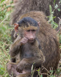 Parc national de Manyara, Tanzanie - babouin de bébé Photos libres de droits