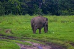 Parc national de minneriya sauvage asiatique d'Eliphant - du Sri Lanka photo libre de droits