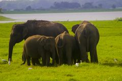 Parc national de minneriya sauvage asiatique d'Eliphant - du Sri Lanka photographie stock