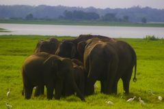 Parc national de minneriya sauvage asiatique d'Eliphant - du Sri Lanka images libres de droits